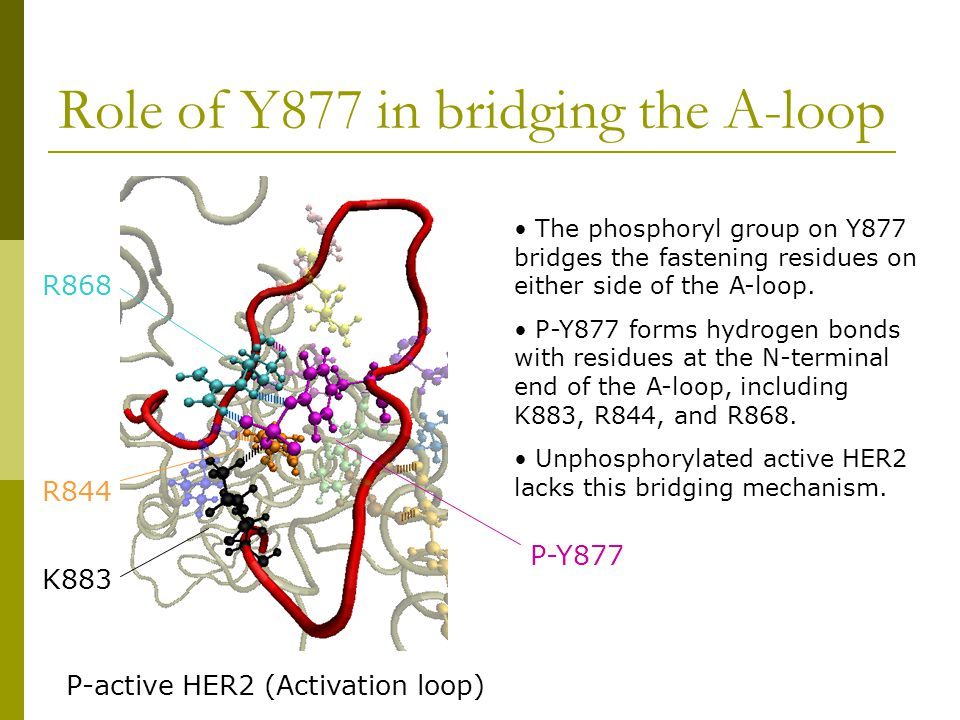 Role of Y877 in bridging the A-loop The phosphoryl group on Y877 bridges the fastening residues on either side of the A-loop.