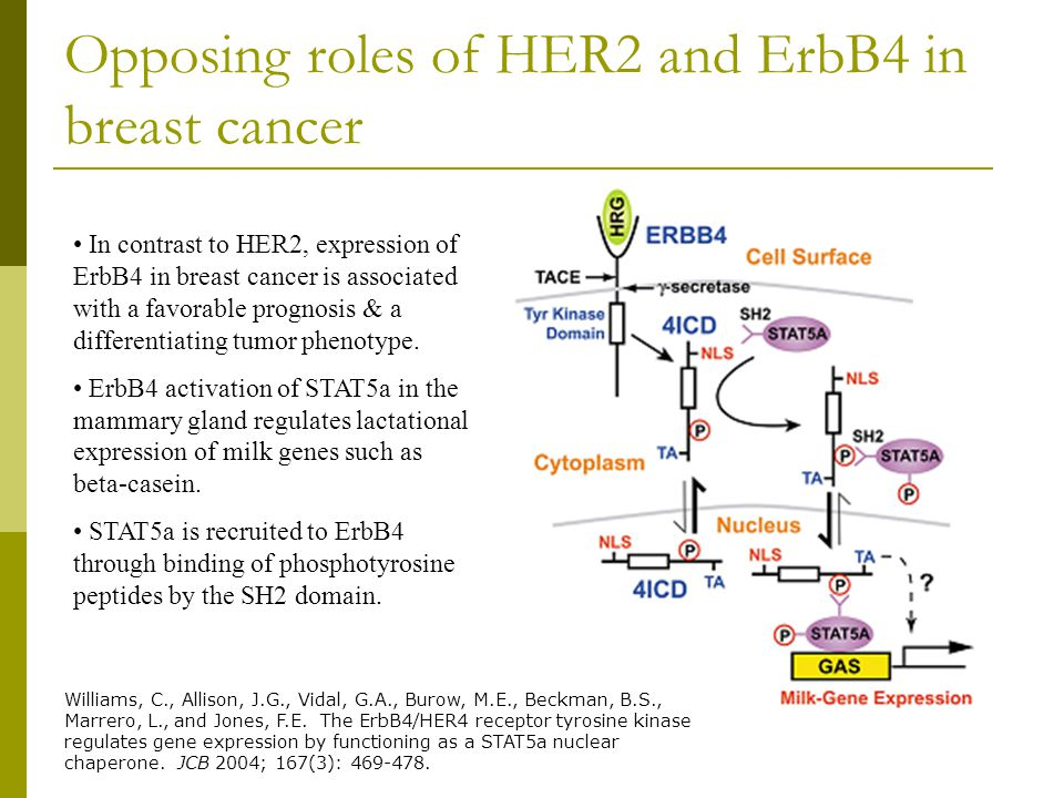 Opposing roles of HER2 and ErbB4 in breast cancer In contrast to HER2, expression of ErbB4 in breast cancer is associated with a favorable prognosis & a differentiating tumor phenotype.