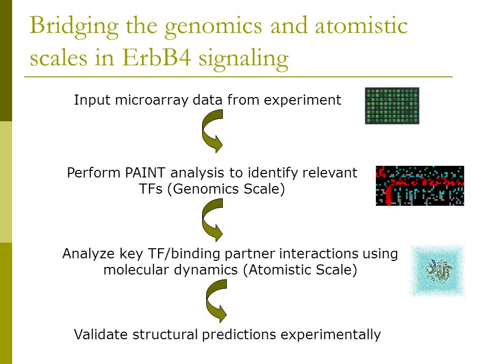 Bridging the genomics and atomistic scales in ErbB4 signaling Input microarray data from experiment Perform PAINT analysis to identify relevant TFs (Genomics Scale) Analyze key TF/binding partner interactions using molecular dynamics (Atomistic Scale) Validate structural predictions experimentally