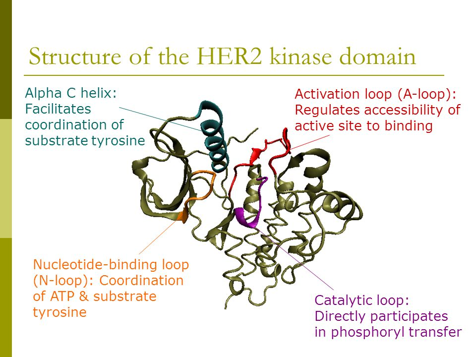 Structure of the HER2 kinase domain Activation loop (A-loop): Regulates accessibility of active site to binding Catalytic loop: Directly participates in phosphoryl transfer Nucleotide-binding loop (N-loop): Coordination of ATP & substrate tyrosine Alpha C helix: Facilitates coordination of substrate tyrosine