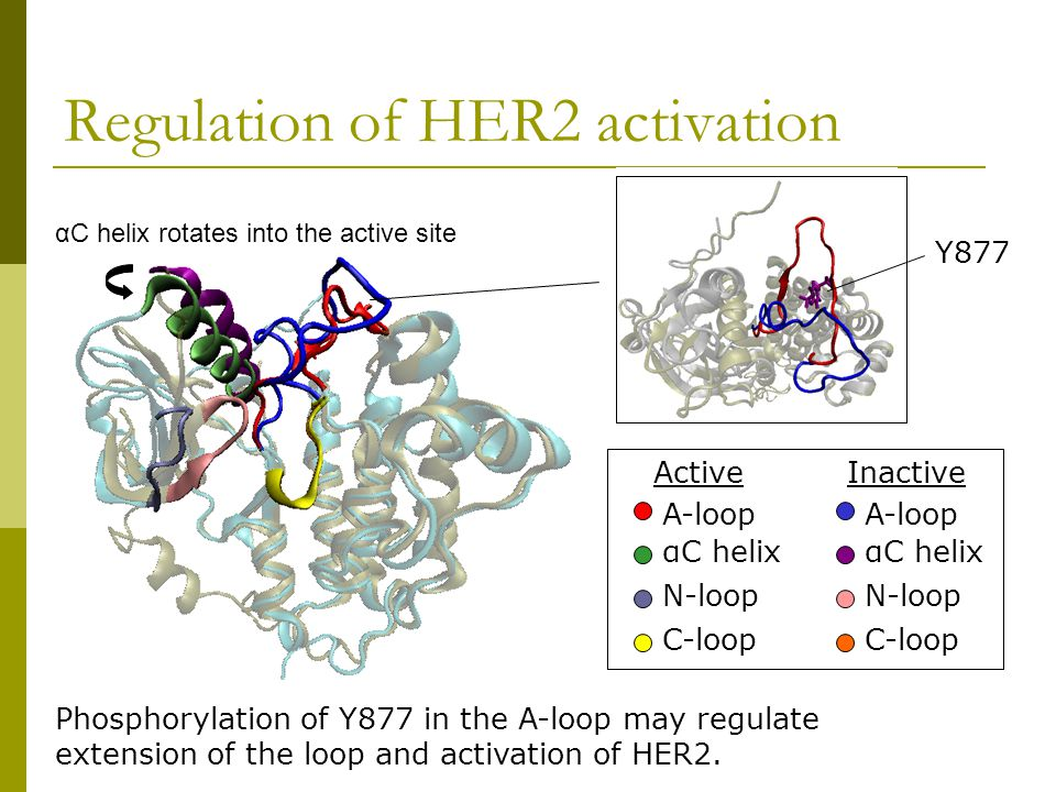 Comparison between HER2 and insulin receptor tyrosine kinase Equilibrated P-active HER2 shares structural features with P-IRK.