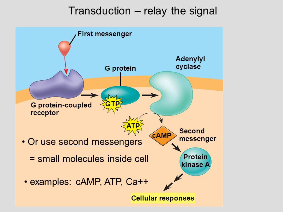 First messenger G protein Adenylyl cyclase GTP ATP cAMP Second messenger Protein kinase A G protein-coupled receptor Cellular responses Transduction – relay the signal Or use second messengers = small molecules inside cell examples: cAMP, ATP, Ca++
