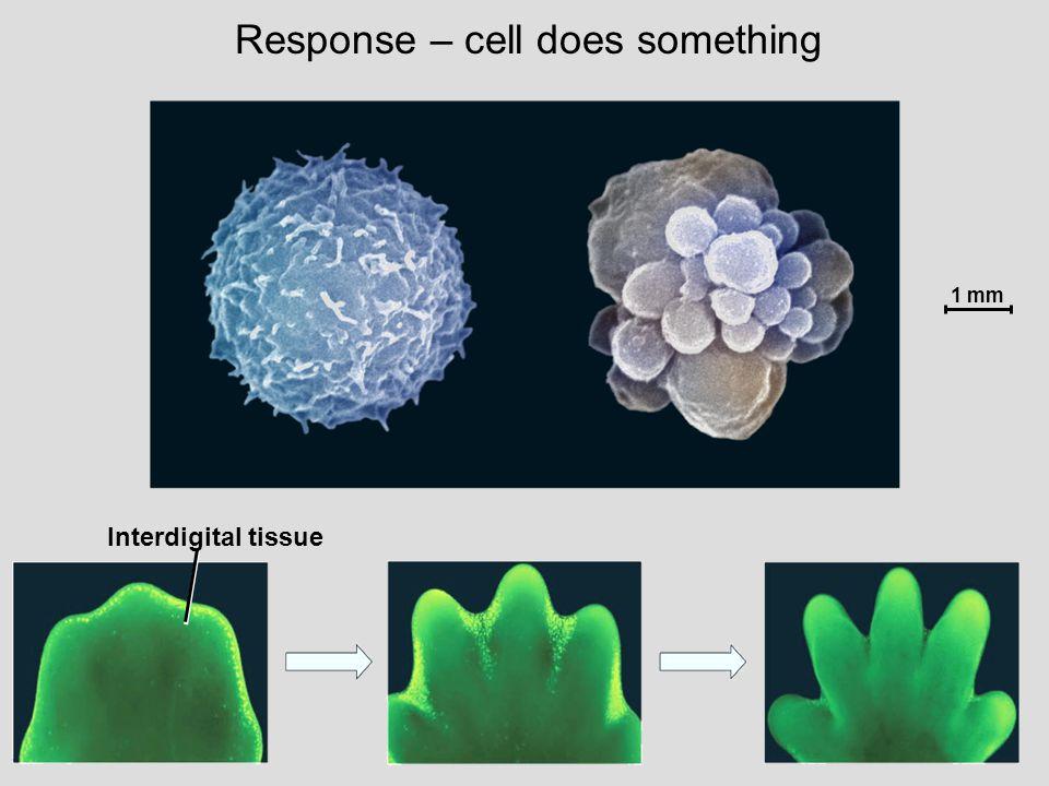 Interdigital tissue 1 mm Response – cell does something