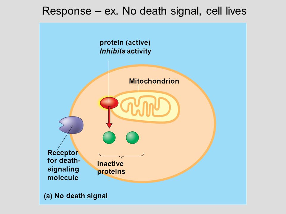 protein (active) Inhibits activity Mitochondrion Receptor for death- signaling molecule Inactive proteins (a) No death signal Response – ex.