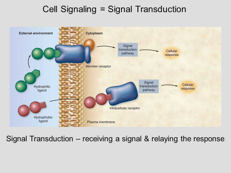 Growth factor Receptor Phosphorylation cascade Reception Transduction Active transcription factor Response P Inactive transcription factor CYTOPLASM DNA NUCLEUS mRNA Gene Signal transduction = reception, transduction, response