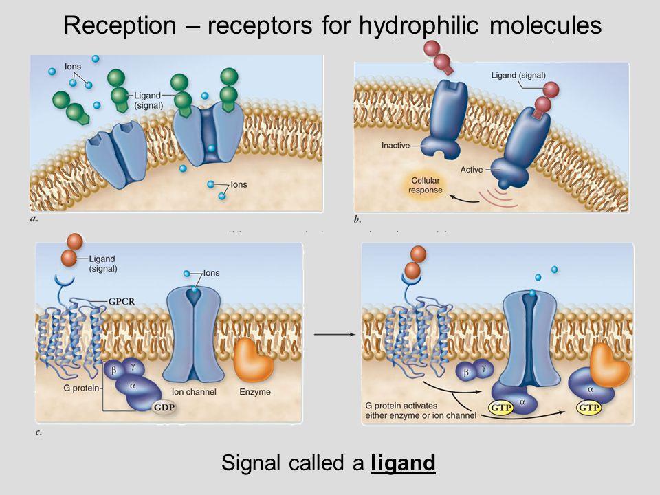 Reception – receptors for hydrophobic molecules