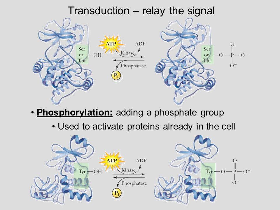 Transduction – relay the signal Phosphorylation: adding a phosphate group Used to activate proteins already in the cell
