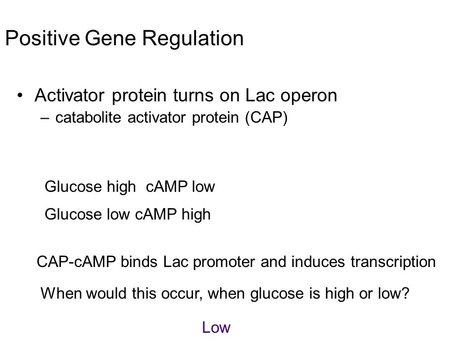 Positive Gene Regulation Activator protein turns on Lac operon –catabolite activator protein (CAP) Glucose high cAMP low Glucose low cAMP high CAP-cAM