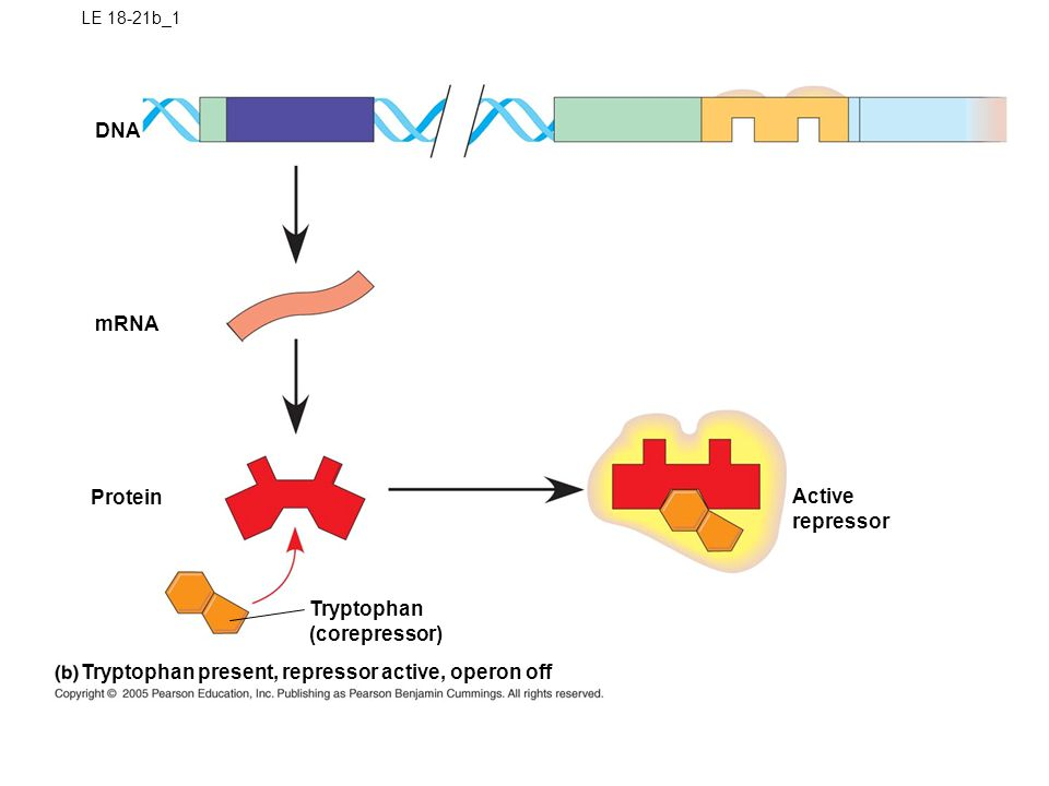 LE 18-21b_2 DNA Protein Tryptophan (corepressor) Tryptophan present, repressor active, operon off mRNA Active repressor No RNA made operator TrpR conformational change