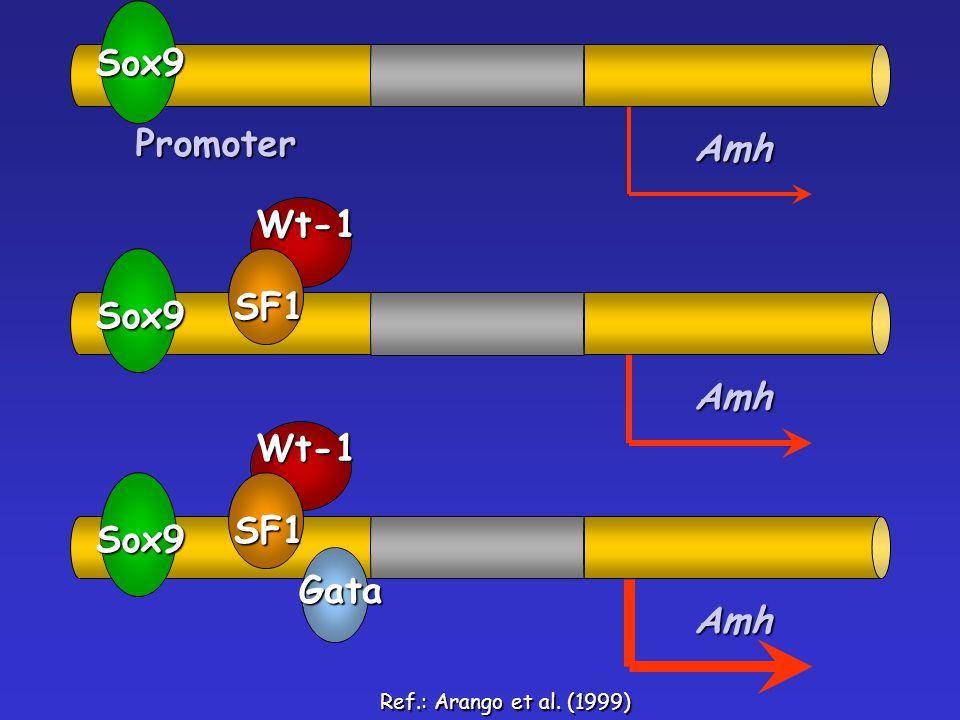 Promoter Amh Sox9 Amh Sox9 SF1Wt-1 Amh Sox9 SF1Wt-1Gata Ref.: Arango et al. (1999)