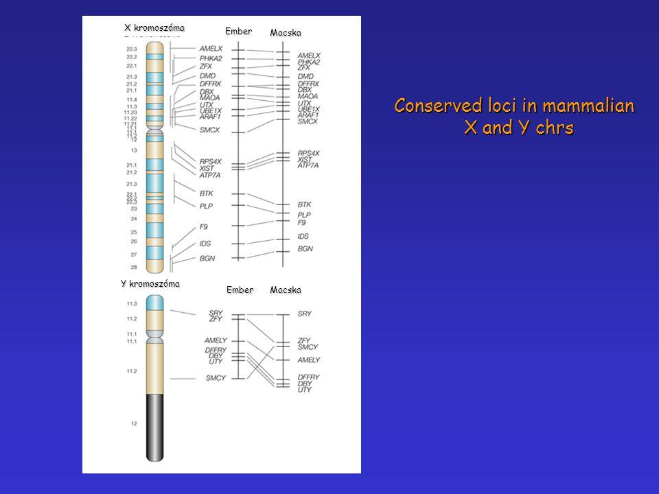 Y kromoszóma X kromoszóma Ember Ember Macska Macska Conserved loci in mammalian X and Y chrs X and Y chrs