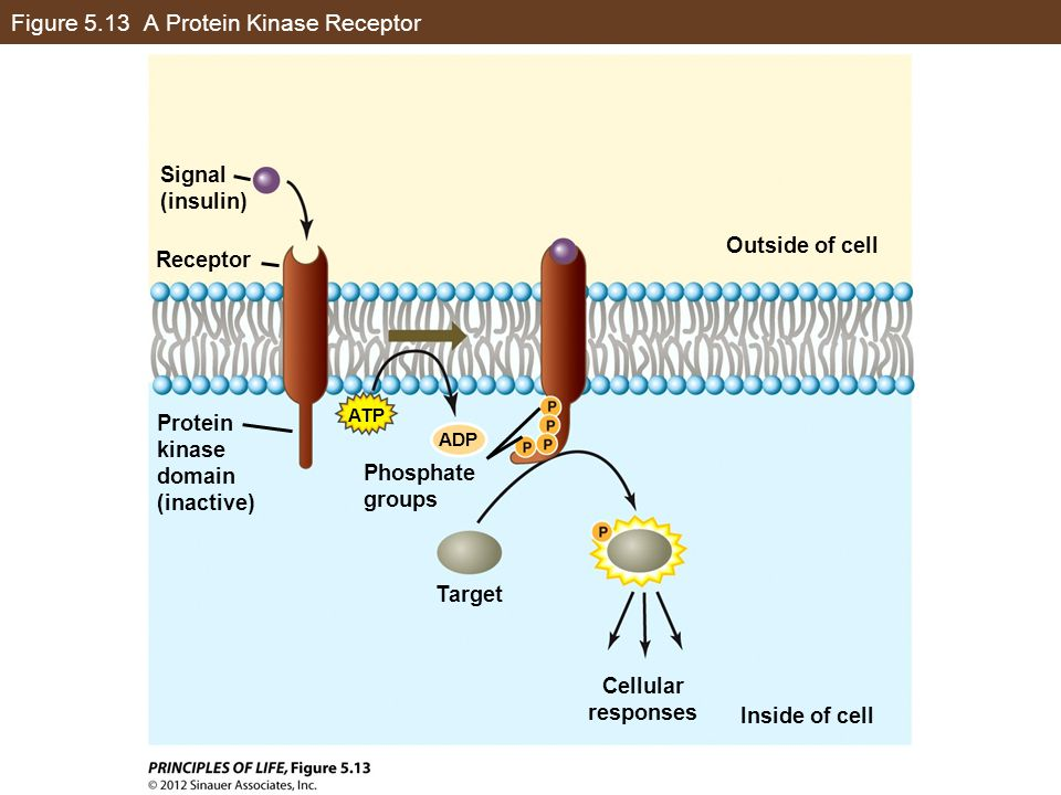Figure 5.13 A Protein Kinase Receptor Signal (insulin) Outside of cell Inside of cell Protein kinase domain (inactive) Phosphate groups Target Cellula