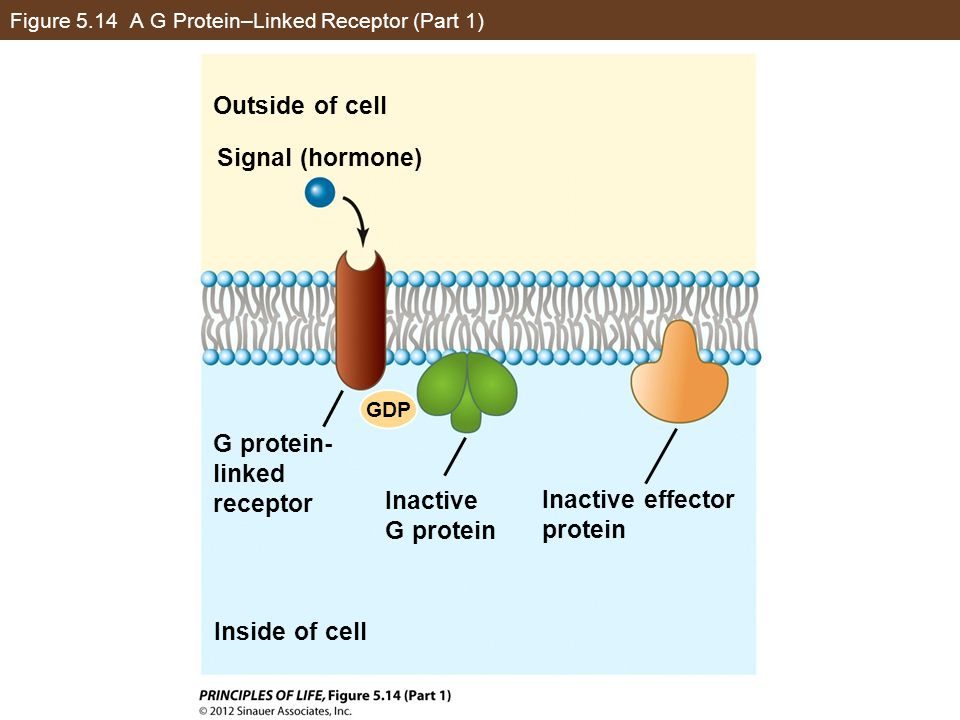 Figure 5.14 A G Protein–Linked Receptor (Part 1) Outside of cell Signal (hormone) G protein- linked receptor Inside of cell Inactive G protein Inactiv