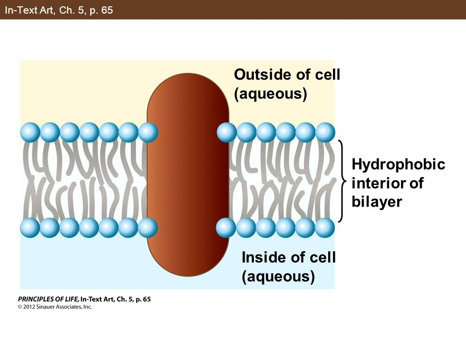 In-Text Art, Ch. 5, p. 65 Outside of cell (aqueous) Inside of cell (aqueous) Hydrophobic interior of bilayer