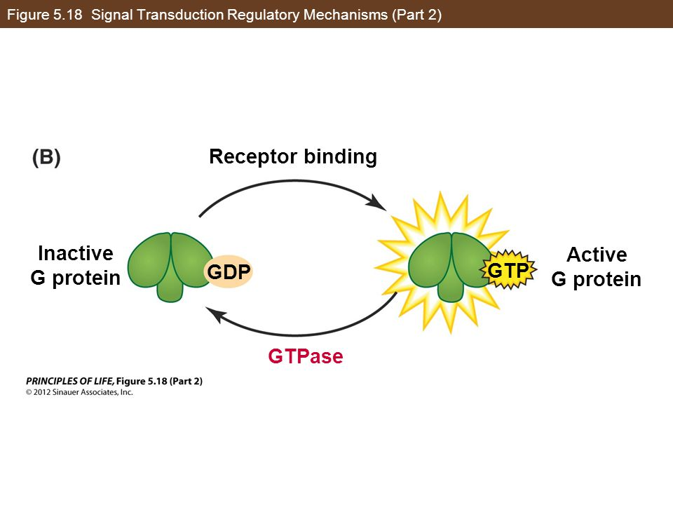 Figure 5.18 Signal Transduction Regulatory Mechanisms (Part 2) Receptor binding Active G protein Inactive G protein GTPase GDP GTP