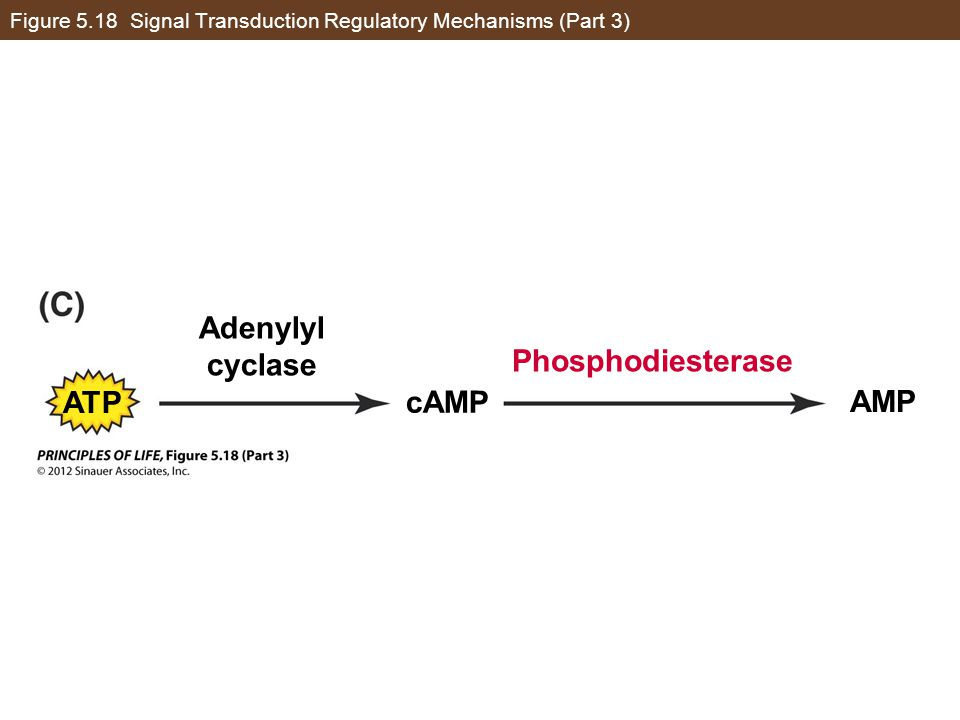 Figure 5.18 Signal Transduction Regulatory Mechanisms (Part 3) Phosphodiesterase Adenylyl cyclase cAMP AMP ATP