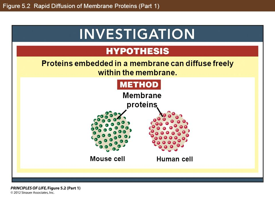 Figure 5.2 Rapid Diffusion of Membrane Proteins (Part 2) Proteins embedded in a membrane can diffuse freely within the membrane.