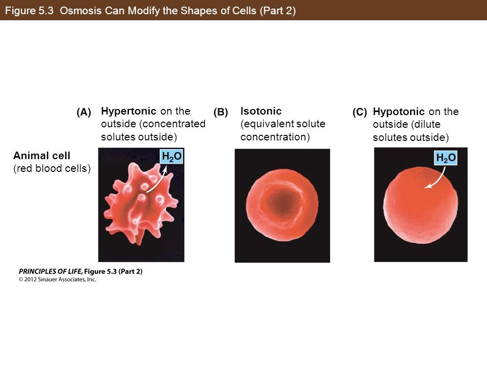 Figure 5.3 Osmosis Can Modify the Shapes of Cells (Part 2) Hypertonic on the outside (concentrated solutes outside) Isotonic (equivalent solute concen