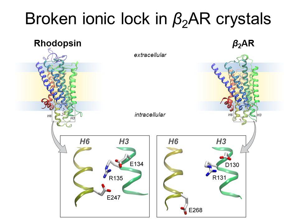 Broken ionic lock in β 2 AR crystals Rhodopsinβ 2 AR extracellular intracellular