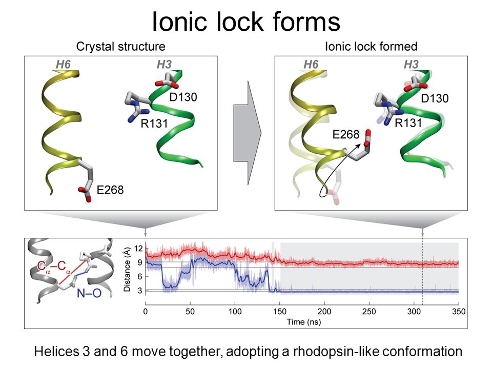 Helices 3 and 6 move together, adopting a rhodopsin-like conformation