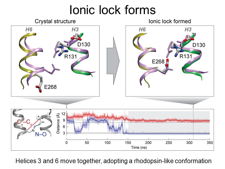 Ionic lock forms Helices 3 and 6 move together, adopting a rhodopsin-like conformation