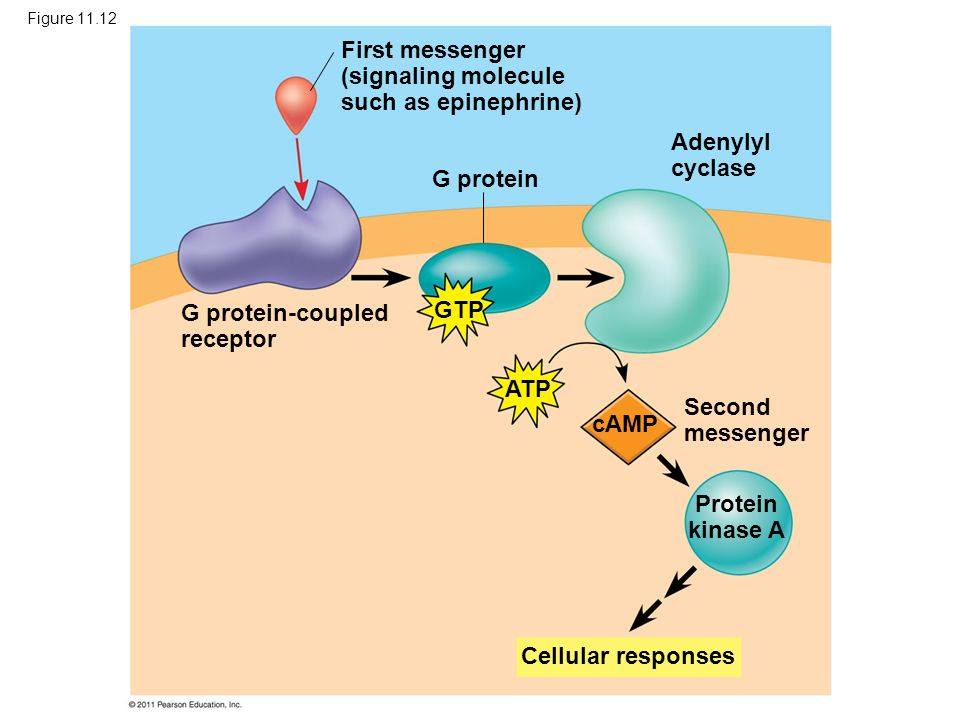 Figure 11.12 G protein First messenger (signaling molecule such as epinephrine) G protein-coupled receptor Adenylyl cyclase Second messenger Cellular responses Protein kinase A GTP ATP cAMP