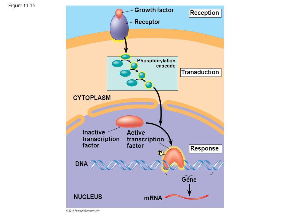 Figure 11.15 Growth factor Receptor Reception Transduction CYTOPLASM Response Inactive transcription factor Active transcription factor DNA NUCLEUS mRNA Gene Phosphorylation cascade P