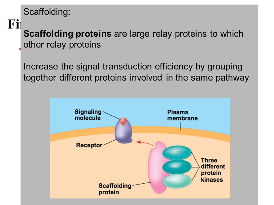 Fine-Tuning of the Response There are four aspects of fine-tuning to consider –Amplifying the signal (and thus the response) –Specificity of the response –Overall efficiency of response, enhanced by scaffolding proteins –Termination of the signal Amplify: Cascade amplifies the cell response At each step, the number of activated product is greater than in the step before Specify: Different proteins allow cells to detect and respond to different signals Scaffolding: Scaffolding proteins are large relay proteins to which other relay proteins Increase the signal transduction efficiency by grouping together different proteins involved in the same pathway