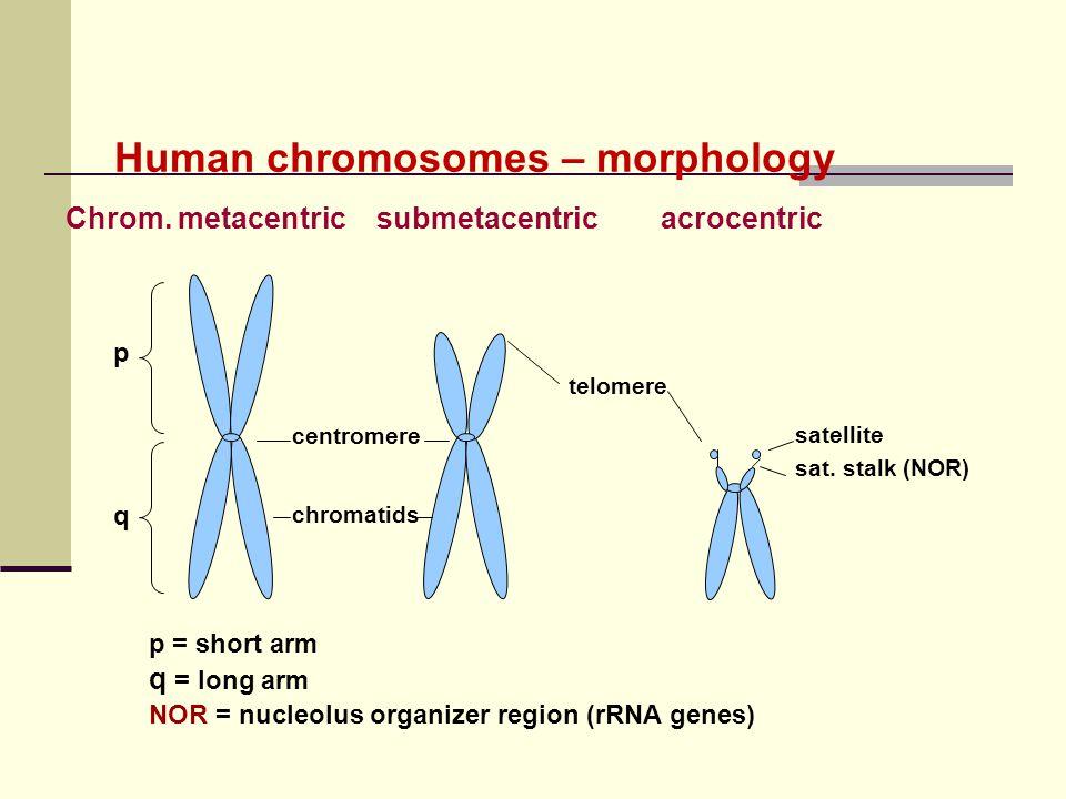 Human chromosomes – morphology Chrom. metacentric submetacentric acrocentric centromere p q chromatids telomere satellite sat. stalk (NOR) p = short a
