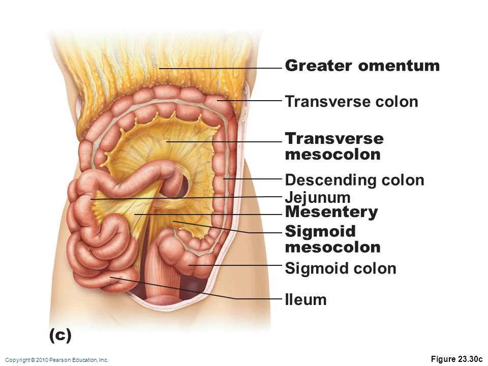 Copyright © 2010 Pearson Education, Inc. Figure 23.30c Transverse colon Greater omentum Descending colon Jejunum Mesentery Transverse mesocolon Sigmoi