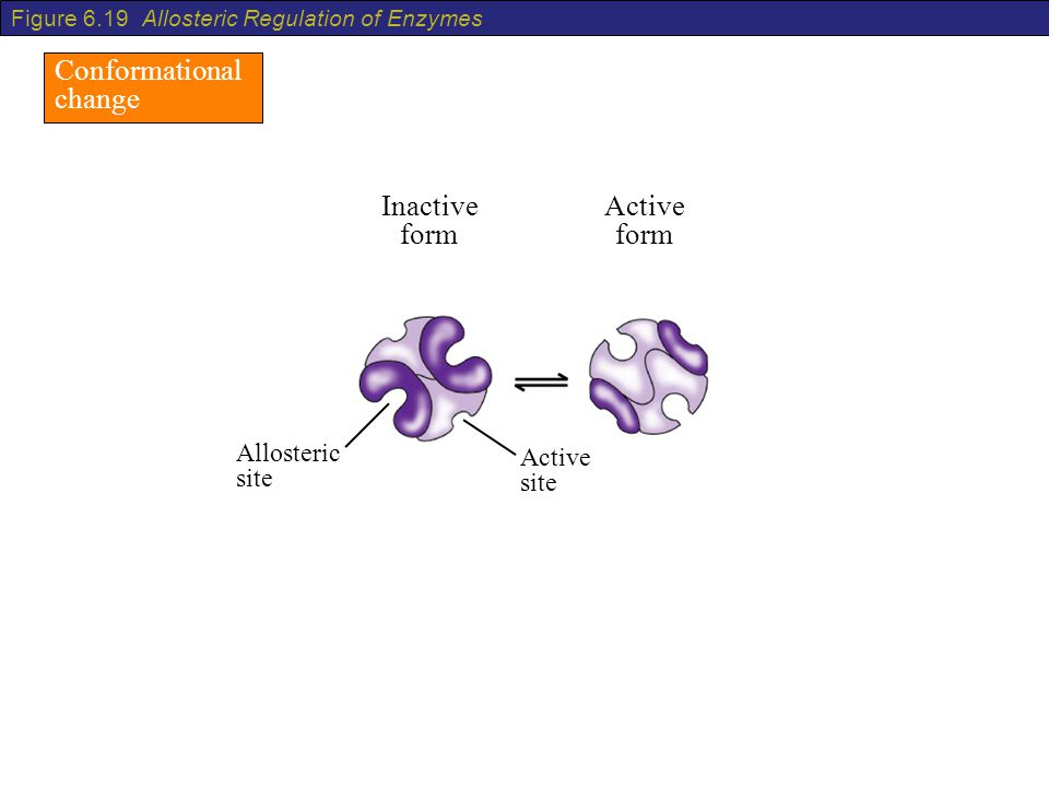 Conformational change Inactive form Active form Allosteric site Active site Figure 6.19 Allosteric Regulation of Enzymes