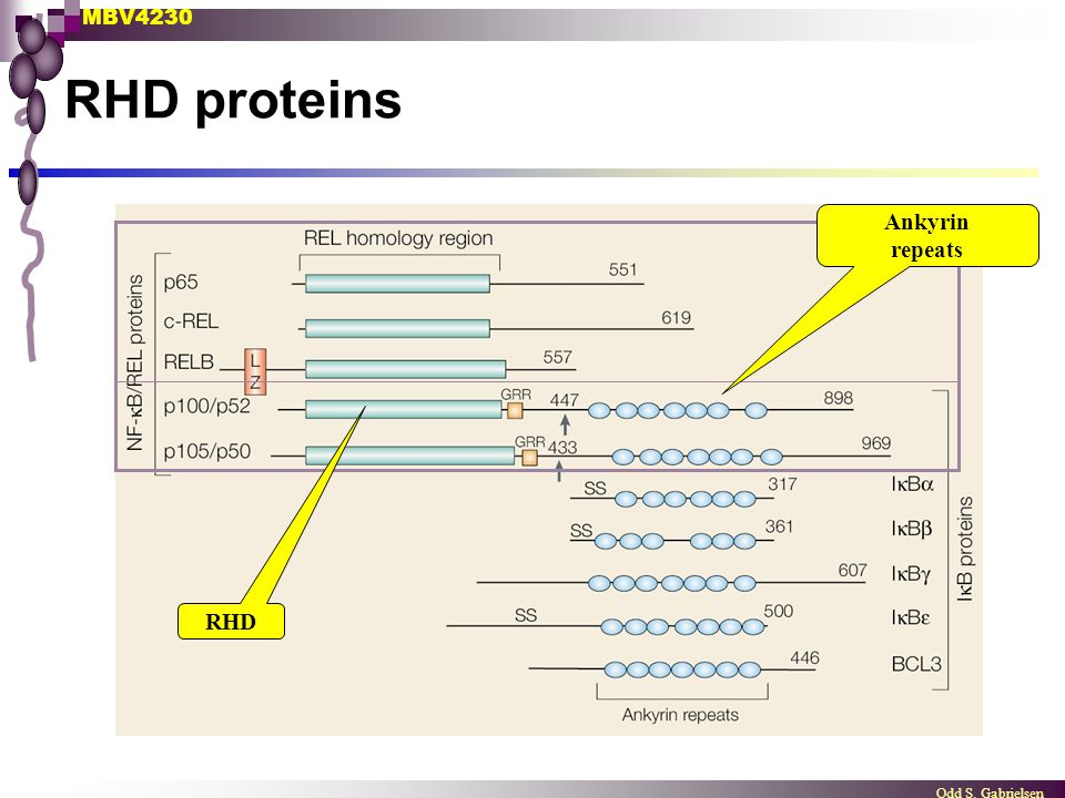 MBV4230 Odd S. Gabrielsen RHD proteins Ankyrin repeats RHD