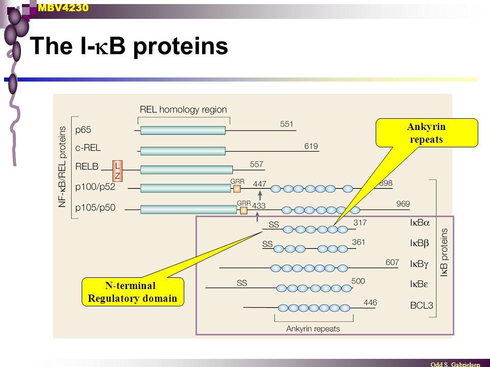 MBV4230 Odd S. Gabrielsen The I-  B proteins N-terminal Regulatory domain Ankyrin repeats