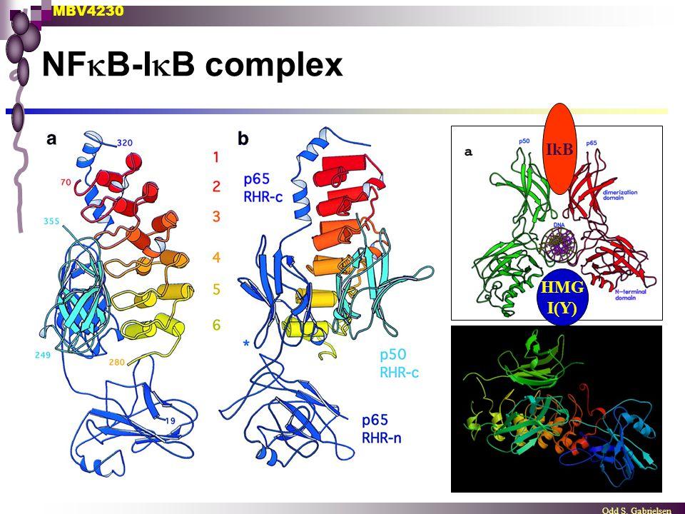 MBV4230 Odd S. Gabrielsen NF  B-I  B complex IkB HMG I(Y)