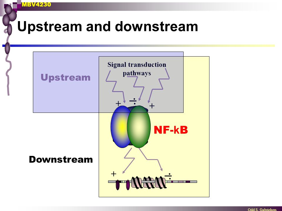 MBV4230 Odd S. Gabrielsen Upstream and downstream NF- k B Signal transduction pathways + +.. +.. Upstream Downstream