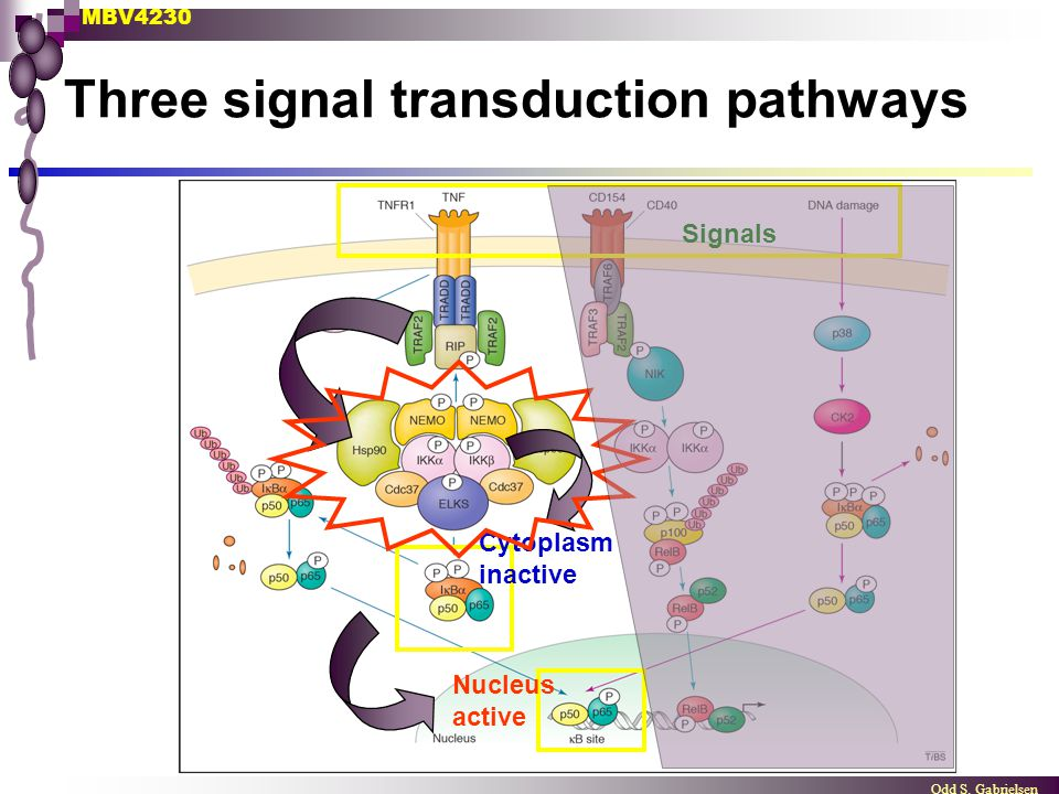 MBV4230 Odd S. Gabrielsen Three signal transduction pathways Cytoplasm inactive Nucleus active Signals