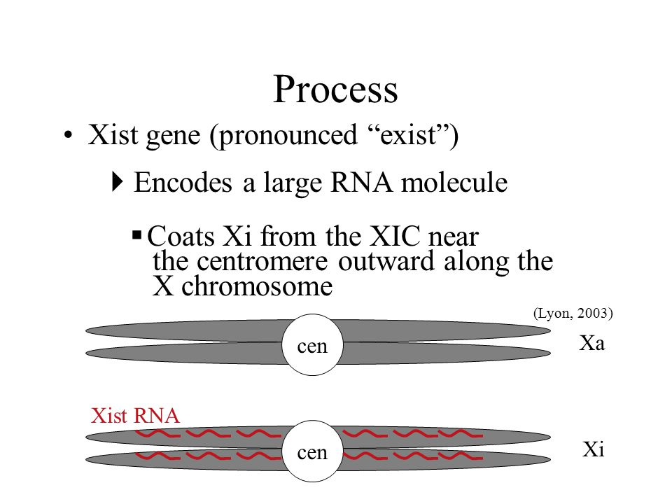 Process Xist gene (pronounced exist )  Encodes a large RNA molecule  Coats Xi from the XIC near the centromere outward along the X chromosome (Lyon, 2003) cen Xi Xa cen Xist RNA