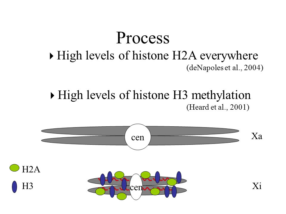 Process  High levels of histone H2A everywhere (deNapoles et al., 2004)  High levels of histone H3 methylation (Heard et al., 2001) Xa cen Xi H2A H3