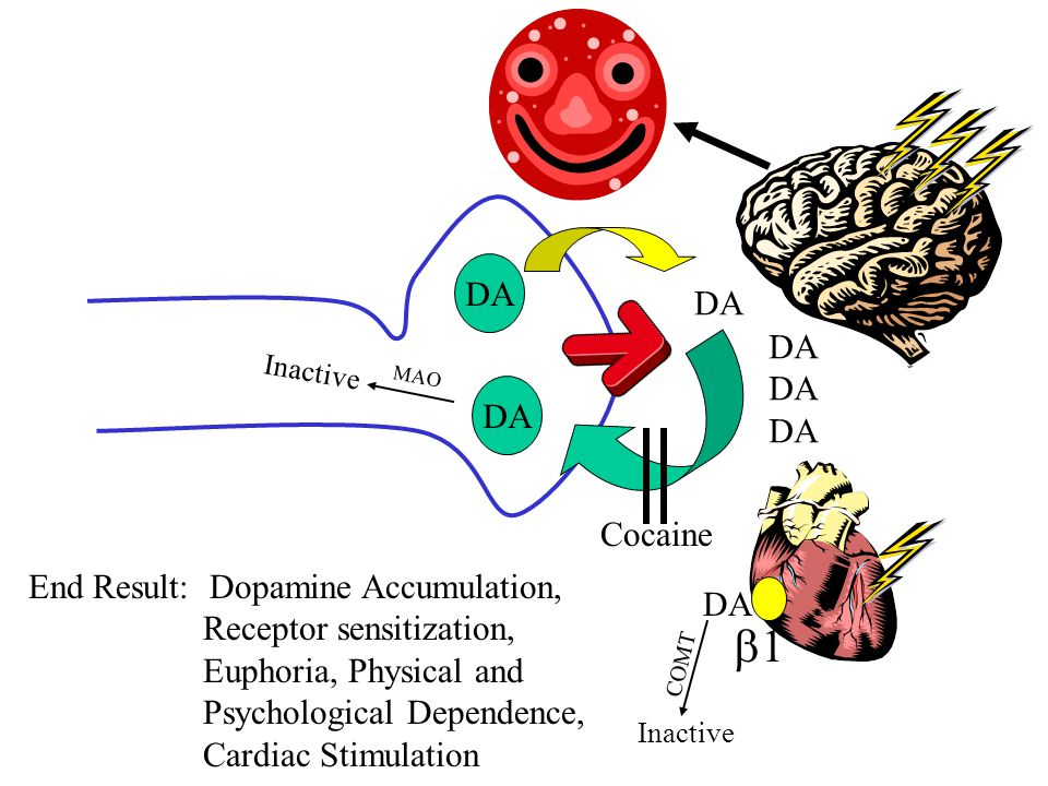 DA 11 Cocaine End Result: Dopamine Accumulation, Receptor sensitization, Euphoria, Physical and Psychological Dependence, Cardiac Stimulation DA COMT Inactive MAO Inactive