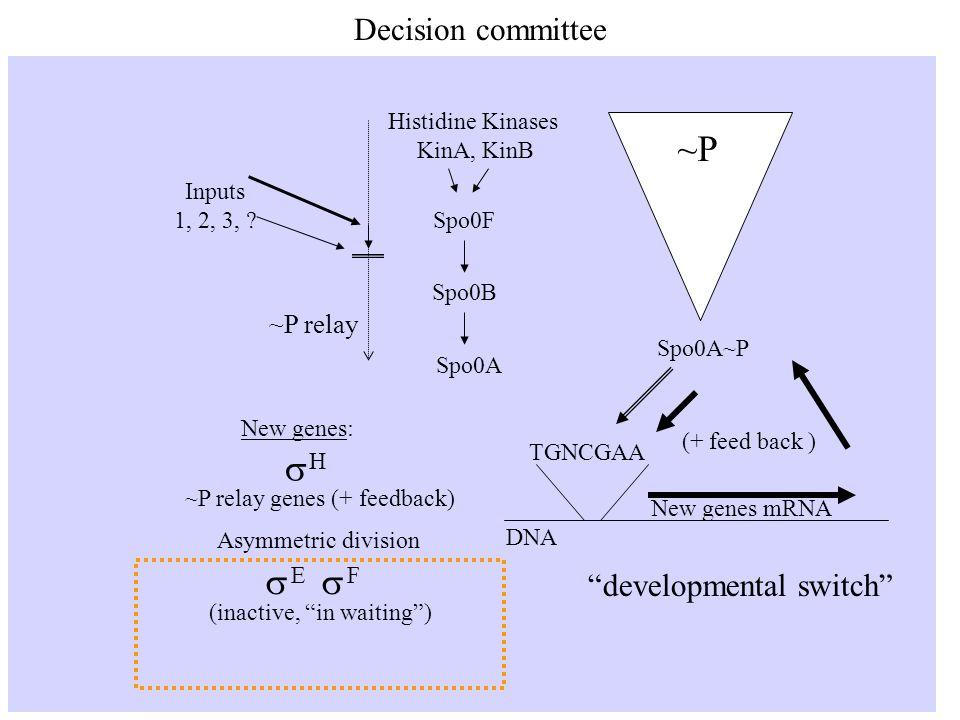 Decision committee Histidine Kinases KinA, KinB Spo0FSpo0B Spo0A ~P relay Inputs 1, 2, 3, .