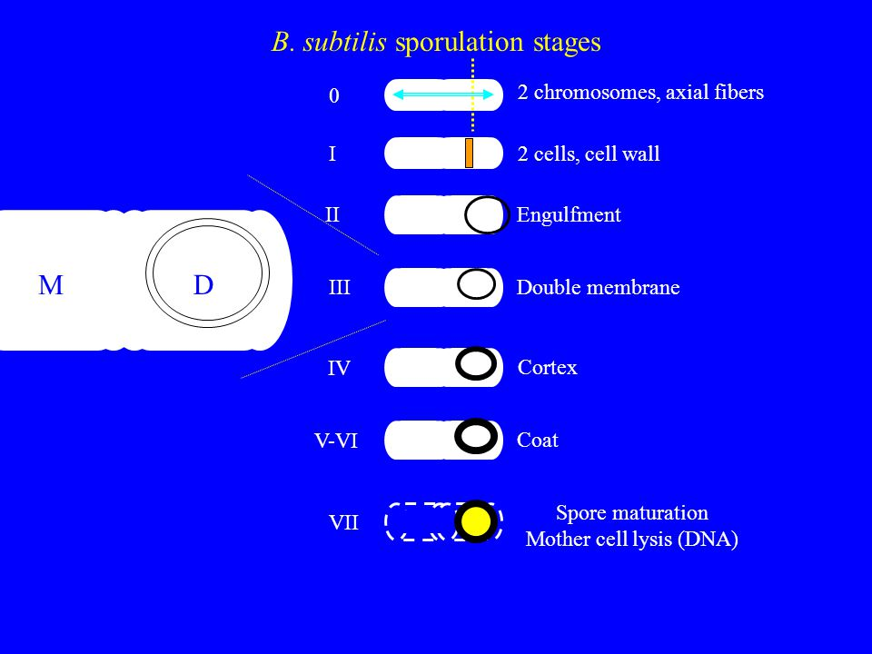 0 B. subtilis sporulation stages M D 2 chromosomes, axial fibers I2 cells, cell wall IIEngulfment IIIDouble membrane IV Cortex V-VI Coat VII Spore mat
