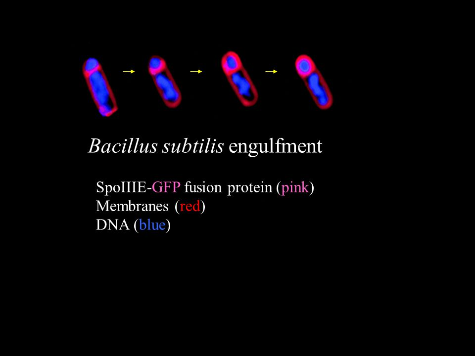 Bacillus subtilis engulfment SpoIIIE-GFP fusion protein (pink) Membranes (red) DNA (blue)