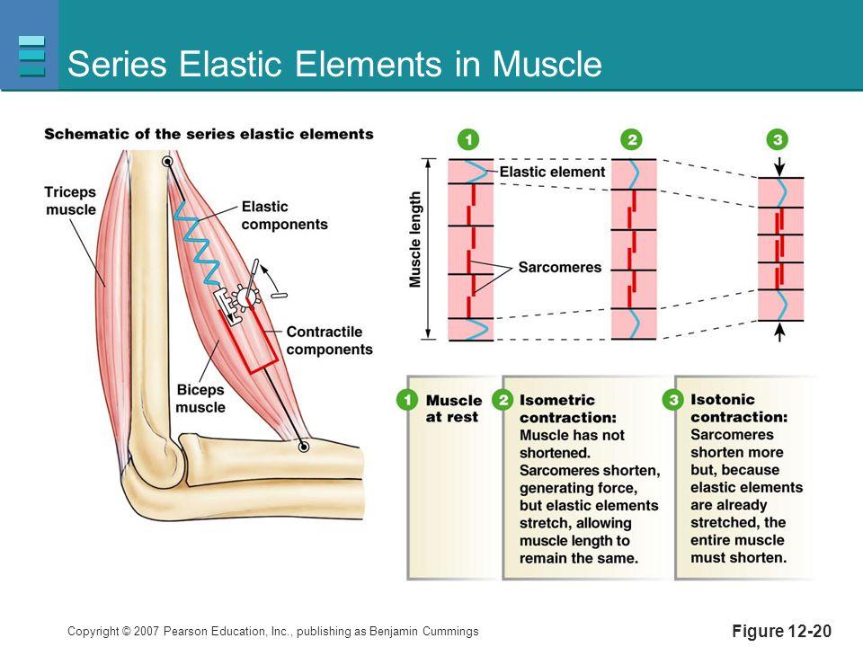 Copyright © 2007 Pearson Education, Inc., publishing as Benjamin Cummings Figure 12-20 Series Elastic Elements in Muscle