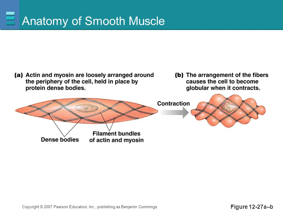 Copyright © 2007 Pearson Education, Inc., publishing as Benjamin Cummings Figure 12-27a–b Anatomy of Smooth Muscle