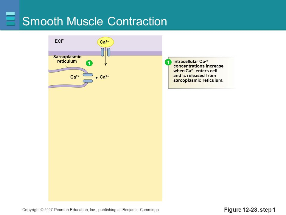 Copyright © 2007 Pearson Education, Inc., publishing as Benjamin Cummings Figure 12-28, step 1 Smooth Muscle Contraction ECF Ca 2+ Sarcoplasmic reticulum Intracellular Ca 2+ concentrations increase when Ca 2+ enters cell and is released from sarcoplasmic reticulum.