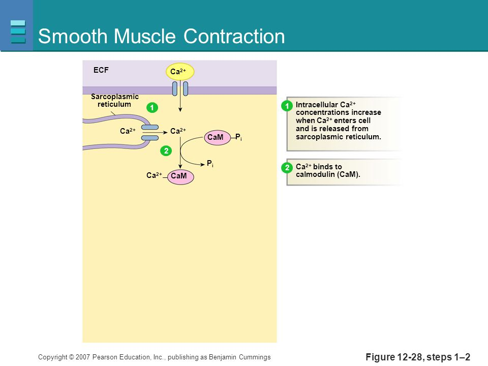 Copyright © 2007 Pearson Education, Inc., publishing as Benjamin Cummings Figure 12-28, steps 1–2 Smooth Muscle Contraction ECF Ca 2+ Sarcoplasmic reticulum CaM PiPi PiPi Intracellular Ca 2+ concentrations increase when Ca 2+ enters cell and is released from sarcoplasmic reticulum.