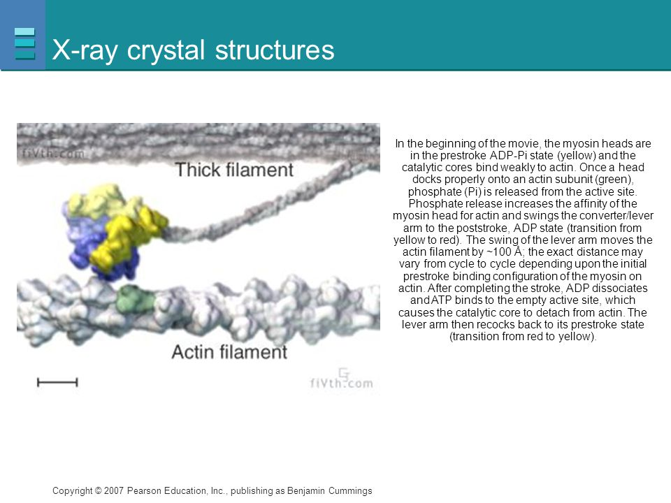 Copyright © 2007 Pearson Education, Inc., publishing as Benjamin Cummings X-ray crystal structures In the beginning of the movie, the myosin heads are in the prestroke ADP-Pi state (yellow) and the catalytic cores bind weakly to actin.