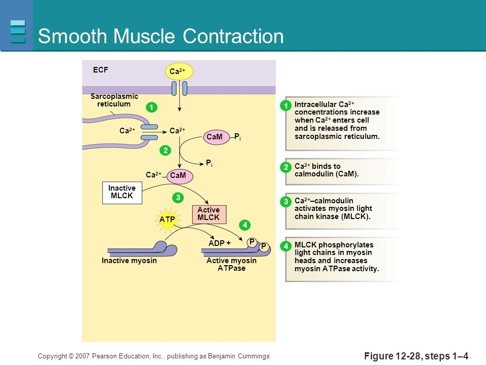 Copyright © 2007 Pearson Education, Inc., publishing as Benjamin Cummings Figure 12-28, steps 1–4 Smooth Muscle Contraction ECF Ca 2+ Sarcoplasmic reticulum CaM PiPi PiPi Active MLCK CaM ADP + Active myosin ATPase P P Intracellular Ca 2+ concentrations increase when Ca 2+ enters cell and is released from sarcoplasmic reticulum.