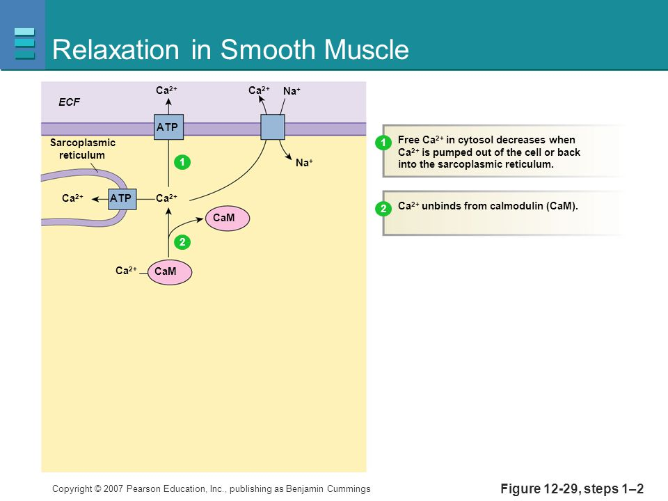 Copyright © 2007 Pearson Education, Inc., publishing as Benjamin Cummings Figure 12-29, steps 1–2 Relaxation in Smooth Muscle Ca 2+ ECF Ca 2+ Na + CaM Sarcoplasmic reticulum Free Ca 2+ in cytosol decreases when Ca 2+ is pumped out of the cell or back into the sarcoplasmic reticulum.