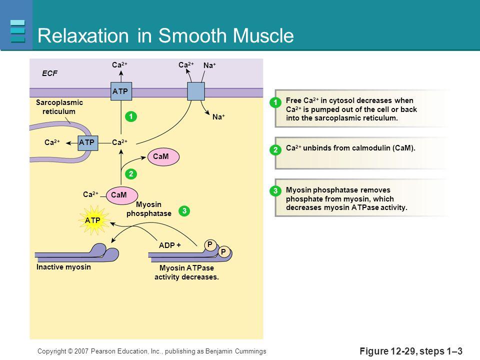 Copyright © 2007 Pearson Education, Inc., publishing as Benjamin Cummings Figure 12-29, steps 1–3 Relaxation in Smooth Muscle Ca 2+ ECF Ca 2+ Na + CaM Inactive myosin Myosin ATPase activity decreases.